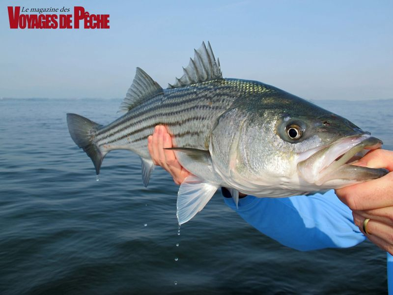 The Atlantic Salmon Federation is asking for new measures to reduce the Gulf of St. Lawrence striped bass population